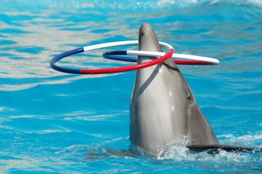Дельфин с обручами